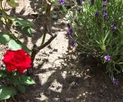 15.6. Rose und Lavendel